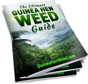 The Ultimate Guinea Hen Weed Guide